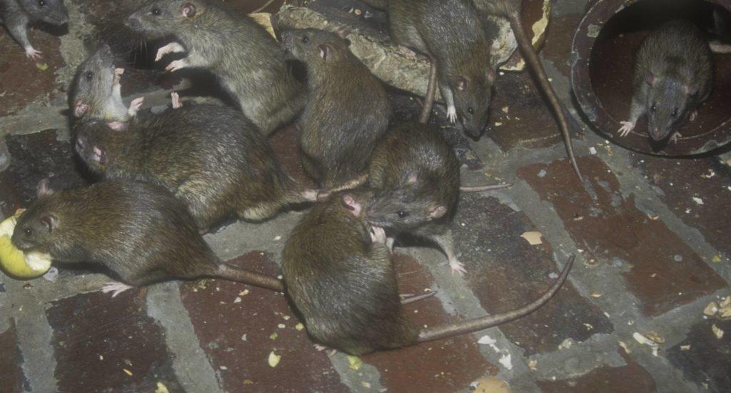 уничтожение крыс в Майкопе